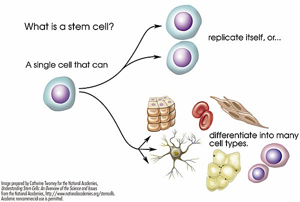 Stem Cell Defination